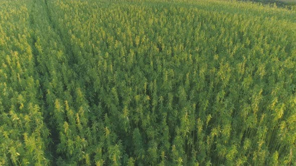 Thumbnail for Flying Above Industrial Cannabis Field, Hemp Growth