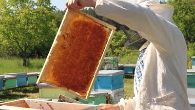 beekeeper works on an apiary, an open beehive. The bees collect honey. Frames of a bee hive.