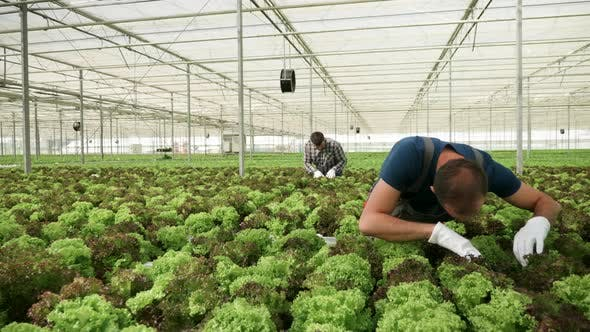 Thumbnail for Agricultural Worker Inspecting the Soil on a Green Salad