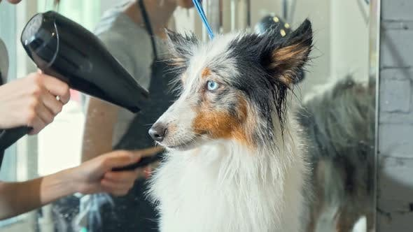 Cover Image for Cute Sheltie Puppy Getting Its Fur Dried After Washing By a Professional Groomer