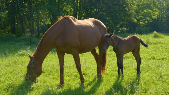 Horse and Foal in the Morning Pasture