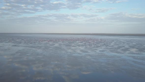 Thumbnail for Aerial drone view of pink flamingos birds wild animals in a safari in Africa lake.