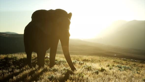 Thumbnail for Old African Elephant Walking in Savannah Against Sunset