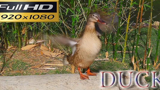 Thumbnail for Duck Full HD Nature