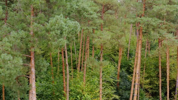 Thumbnail for Pine trees in forest