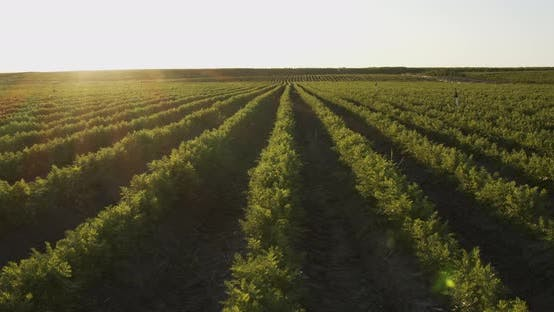 Carrots Growing On The Ground, Organic Farming, Rows In The Field, Close Up