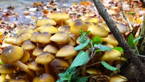 Honey Fungus Mushrooms 3