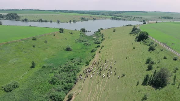 Thumbnail for Shepherd leads a herd of cows to watering place at lake.