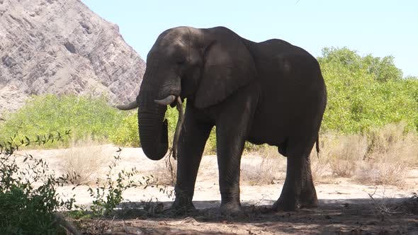 Thumbnail for Elephant in the shadow eating a tree branch