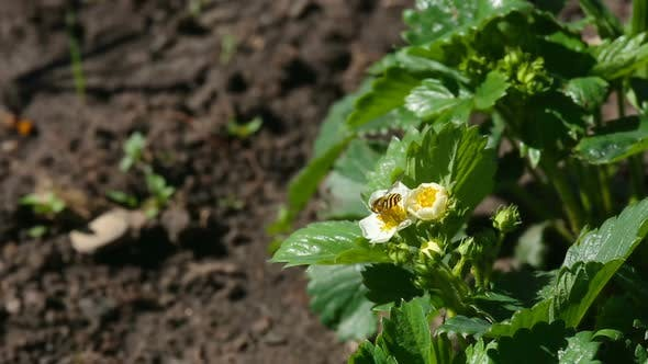 Cover Image for Bee on Strawberry Flowers