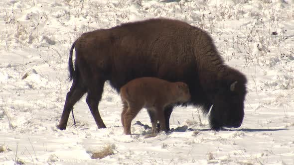 Thumbnail for Bison Cow Female Newborn Calf Baby Walking Spring Snow with Afterbirth