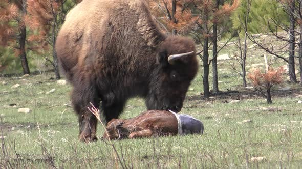 Thumbnail for Bison Cow Female Mammal Eating Newborn Baby Placenta Material Licking Cleaning