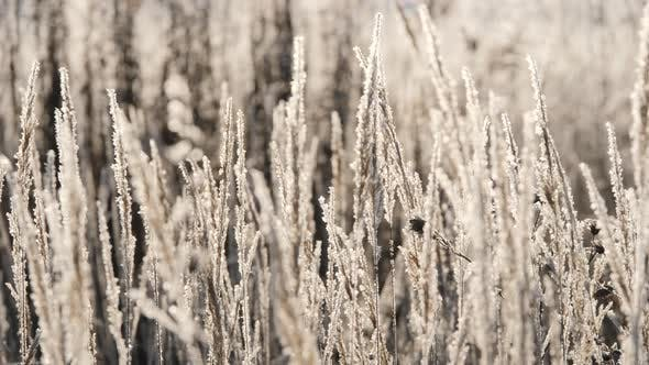 Thumbnail for Panicles of Dry Grass Shrouded in Snowflakes Against
