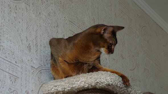 Thumbnail for Abyssinian Cat Portrait