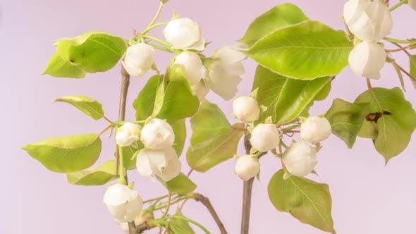 Thumbnail for Pear Fruit Flower Blossom Timelapse