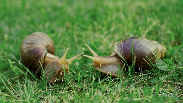 Thumbnail for Big Snails in the Grass