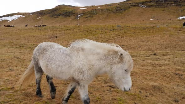 Thumbnail for Icelandic White Horse Walks Across Moss Covered Ground 3
