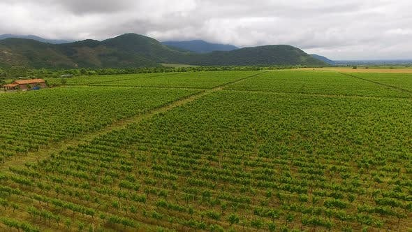 Thumbnail for Beautiful aerial flight over grape fields, agriculture and farming, winemaking