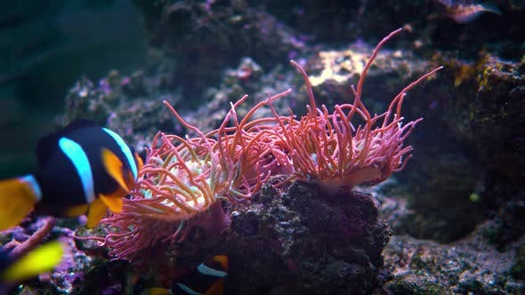 Thumbnail for Topical Saltwater Fish Clownfish Anemonefish