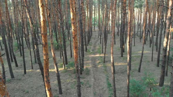 Thumbnail for Aerial View Inside Pine Forest