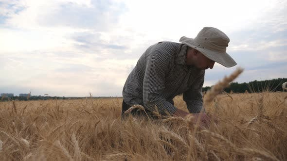 Thumbnail for Male Farmer Walking Through Grain Field and Exploring Wheat Ears of Crop. Young Agronomist Going