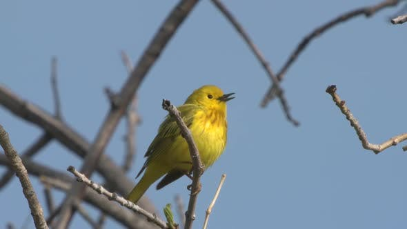 Yellow Warbler Male Adult Lone Calling Singing Song in Spring in South Dakota