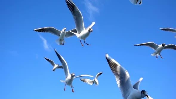 Thumbnail for Bird Animal Seagulls Flying on Clear Blue Sky