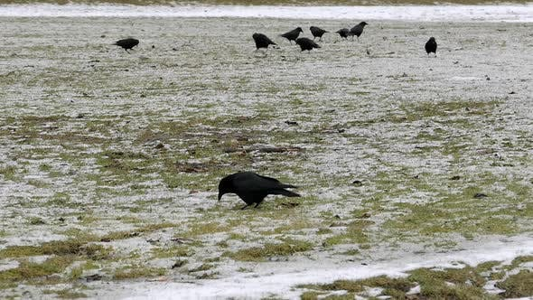 Thumbnail for Black Birds On Snowy Grass Field I