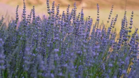 Field in Lavenders