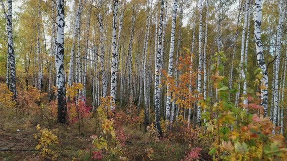 Thumbnail for Flying between trees in birch grove in a autumn day.