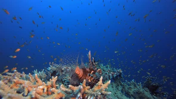 Thumbnail for Underwater Fish Scene Lionfish