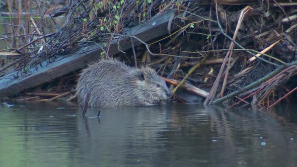 Thumbnail for Beaver Adult Lone Eating Feeding in Spring Chewing Gnawing Stick Lodge