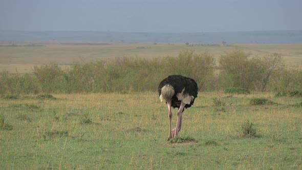 Thumbnail for Male ostrich feeding