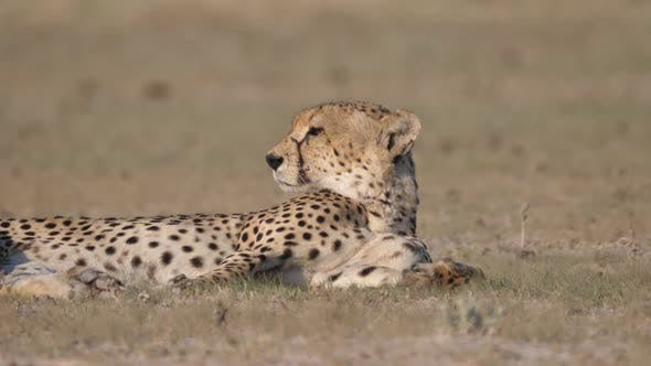 Thumbnail for Cheetah resting and looking around