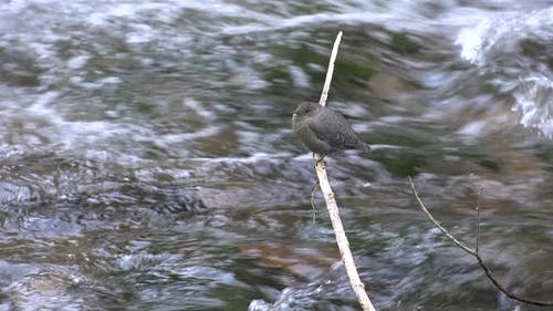 Dipper Adult Lone Perched in Summer Rapids Rushing Water Current
