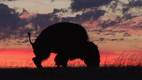Thumbnail for Bison Bull Adult Lone Masturbating in Summer Sunrise Morning Penis