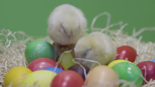 Thumbnail for Sleepy Little Chickens on Colorful Easter Eggs. Green Background. Fluffy Chicks