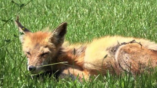 Baby fox laying down in grass