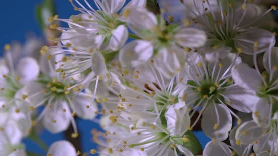 Beautiful Spring Cherry tree flowers blossom timelapse, extreme close up