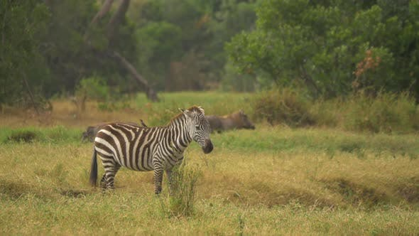 Thumbnail for Zebra near other wild animals