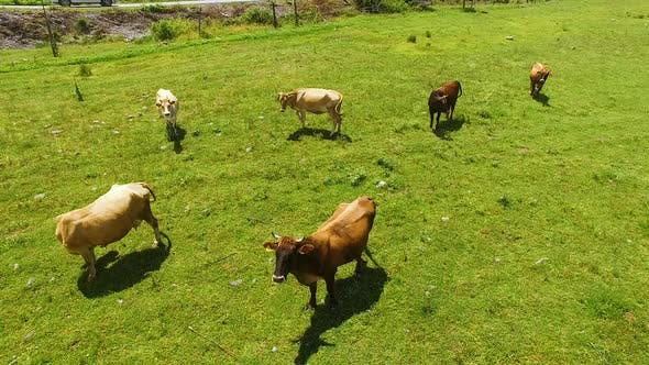 Thumbnail for Flying Over Green Field with Grazing Cows, Cattle-Breeding and Farming Business