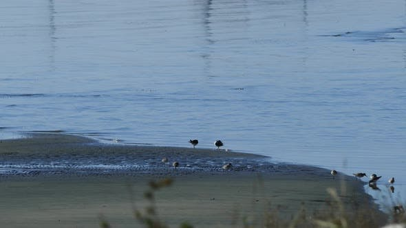 Thumbnail for Group of Common Sandpiper at the lake