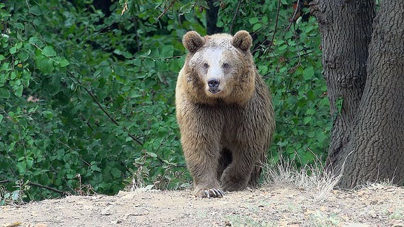 8K The Brown Bear is Coming in The Forest