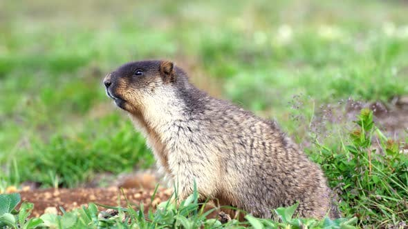 Thumbnail for Alpine Marmots (Marmota Marmota) Crawls Out