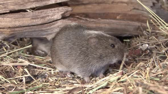 Thumbnail for Prairie Vole Adult Immature Several Foraging Looking For Food in Autumn
