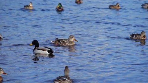 Big Duck Flock Floating on the Lake Mallard Ducks Swimming in Water