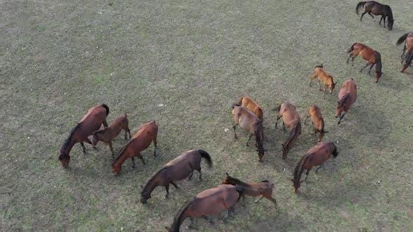 Thumbnail for Horse Herd Feeding Aerial View