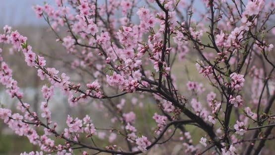Pink sakura flower, Cherry blossom, Himalayan cherry blossom swaying in wind