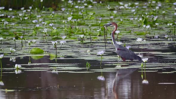 Goliath heron in Mapungubwe National park, South Africa