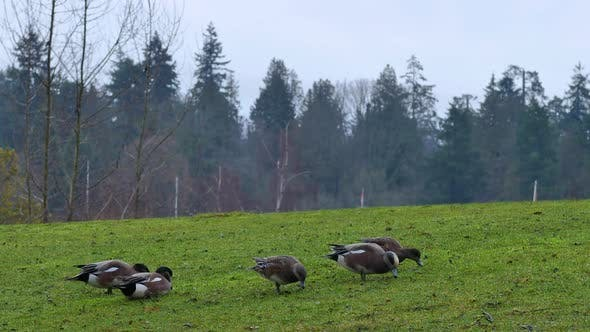 Thumbnail for Ducks In A Meadow During An Afternoon